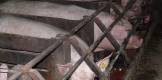 Stalbranden: verzekeraars willen extra inspecties bij veehouders