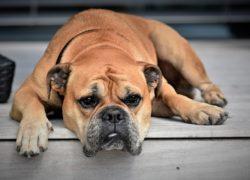 Slechts een derde van de inboedelverzekeraars dekt schade veroorzaakt door huisdieren