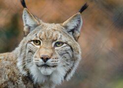 Lloyd's-syndicaat komt met verzekering voor schade door uitzetten lynx