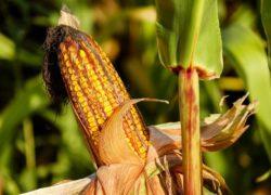Akkerbouwers maken voorzichtige draai naar andere gewassen