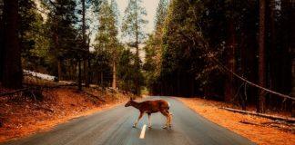 meer schadelast door aanrijdingen wilde dieren